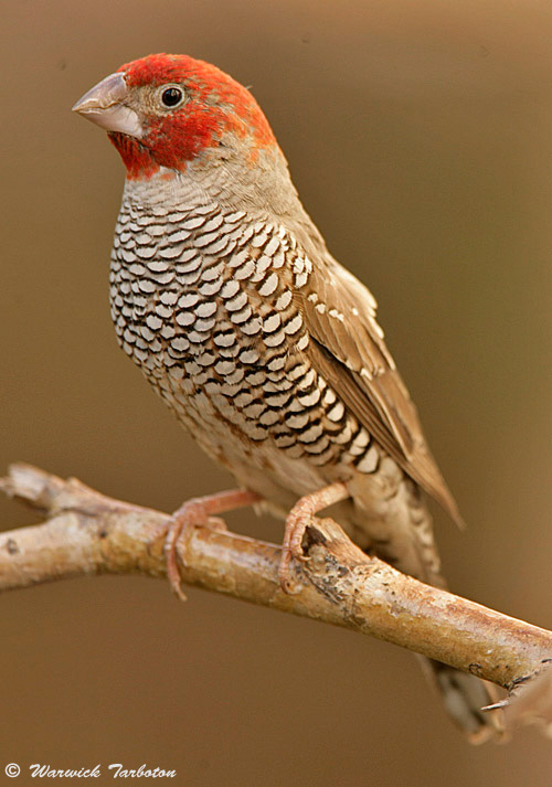 ��� ( ����� ) 34_hybrid_red-headed_cut-throat_finch_4.jpg
