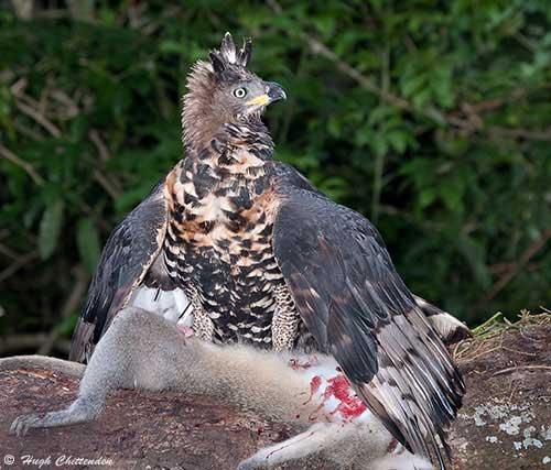Harpy eagle hunting monkey - photo#43