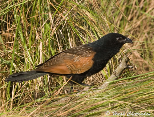 http://www.birdinfo.co.za/rarebirds/pics/01_black_coucal_2.jpg